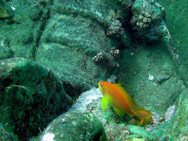soldierfish, thistlegorm wreck, northern red sea, egypt
