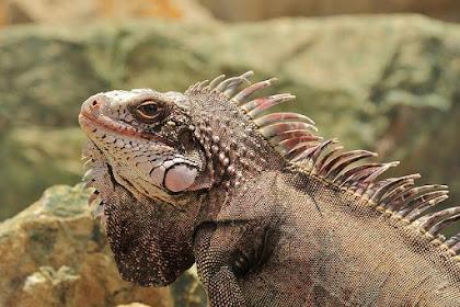32 Fakta dan Informasi Menarik Tentang Iguana
