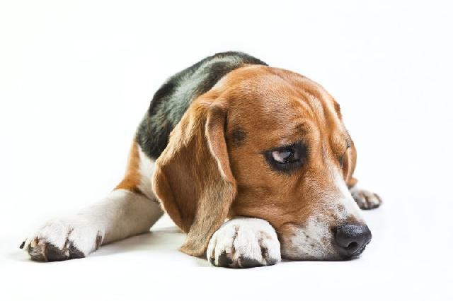 Meu cão não quer comer. O que devo fazer?