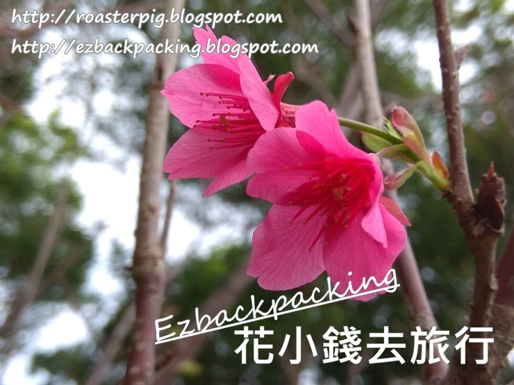 大埔 櫻花
