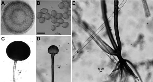 Rhyzopus oryzae fungi untuk pembuatan tempe