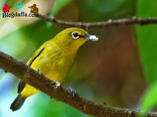 Burung pleci dada kuning hampir punah