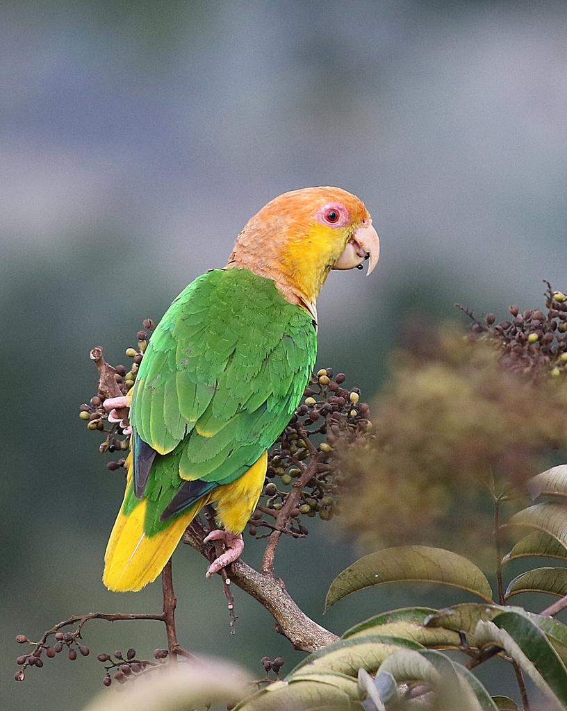 Arara Marianinha (Pionites leucogaster)