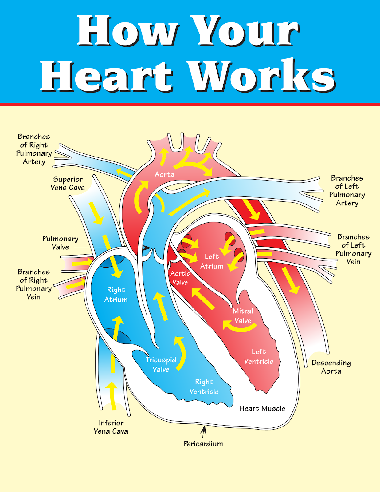 Promoting Success: 10 Circulatory System Activities and Projects for Kids [ 1600 x 1237 Pixel ]