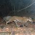 'Programa Amigos da Onça' recebe doações de equipamentos para monitoramento de animais silvestres