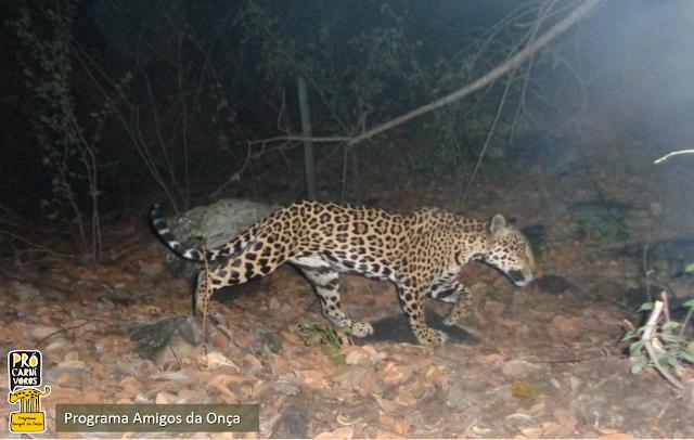 'Programa Amigos da Onça' recebe doações de equipamentos para monitoramento de animais silvestres (Foto: Divulgação/MP-BA)