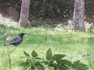 Crow On Grass