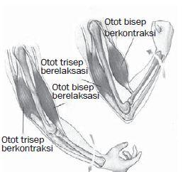 Sistem Otot Manusia, Fungsi, Cara Kerja dan Macam-macam Jenis Otot Manusia serta Kelainan dan Gangguan pada Otot
