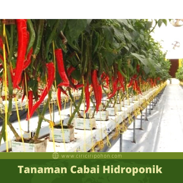 Ciri Ciri Pohon Tanaman Cabai Hidroponik