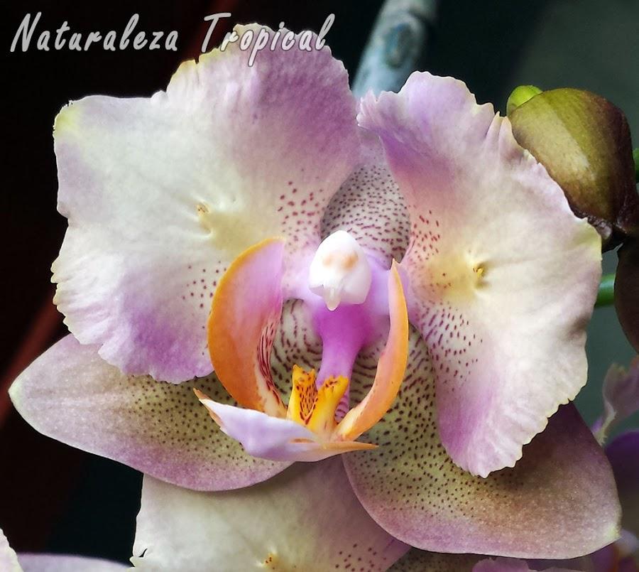 Variedad matizada de la flor de una orquídea Mariposa, género Phalaenopsis