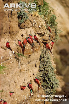 Southern carmine Bee eater nest