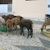 ANIMAIS SOLTOS NA RUA RASGAM SACOLAS DE LIXO