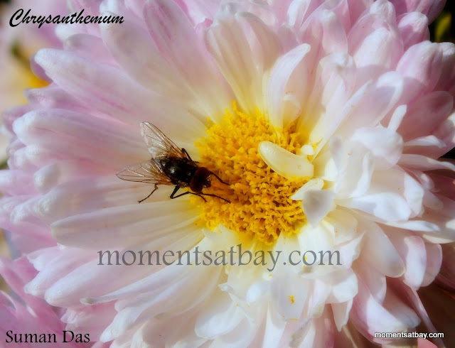 Chrysanthemum and Fly momentsatbay