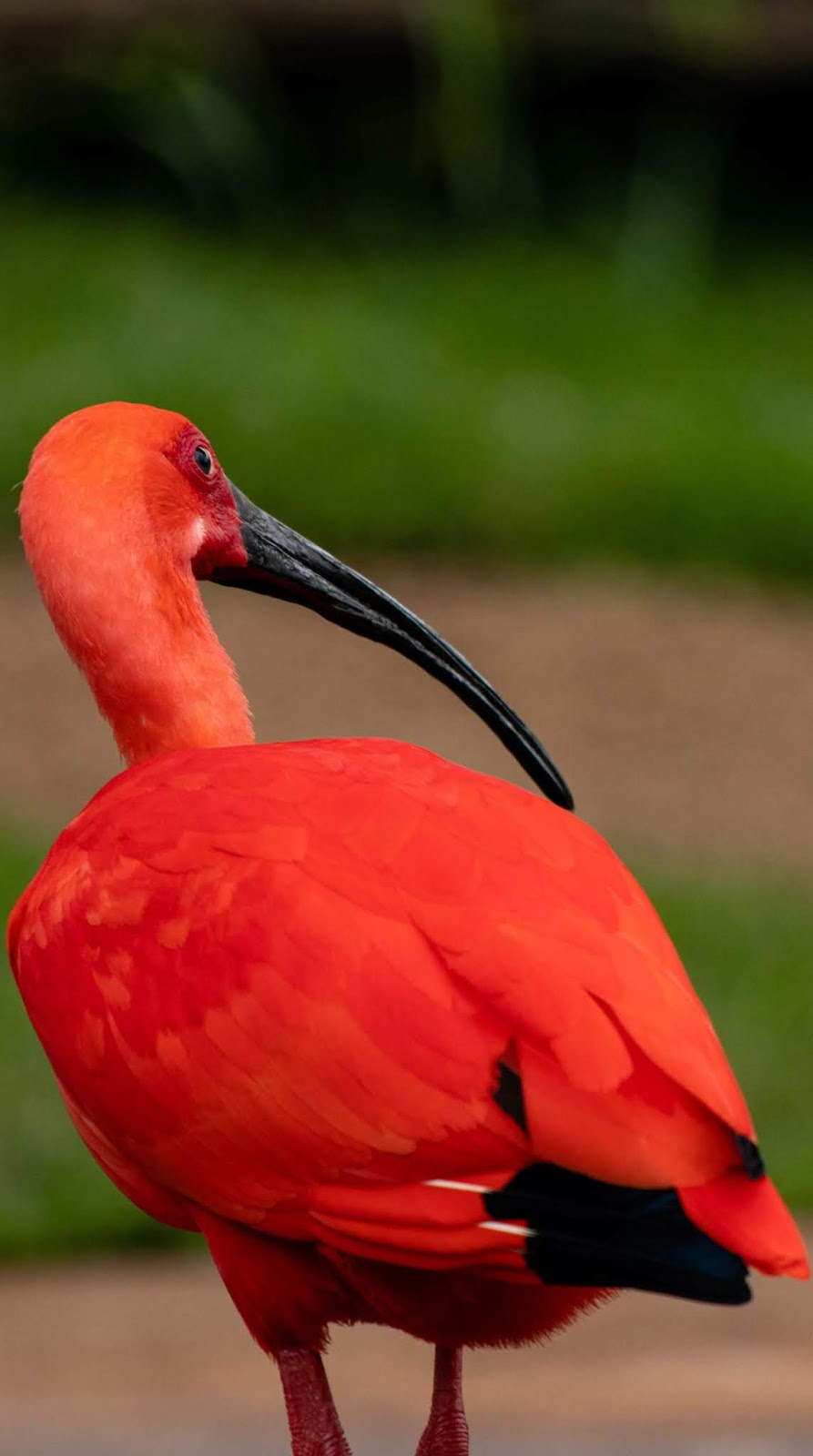 Picture of a scarlet ibis.