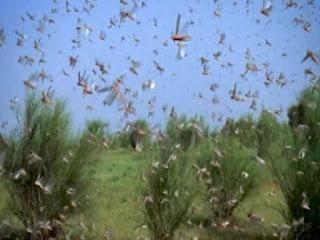 Tiddy may attack Rajasthan's agri farms.