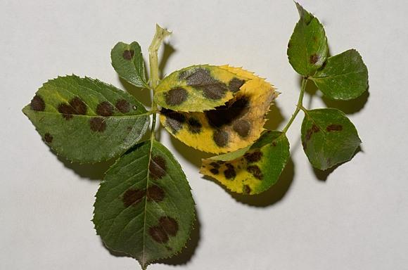 Diplocarpon Rosae чёрная пятнистость роз фунгициды профилактика