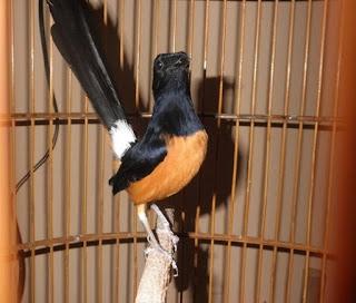 Cara Cepat Mengatasi Burung Murai Galak Yang Sudah Terbukti