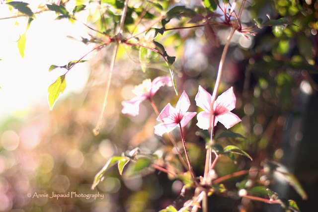 clematis in the sunlight