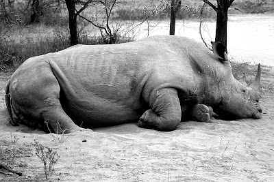 rhino, wildlife, africa,