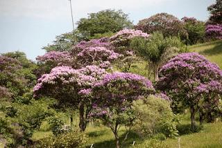 arvores-quaresmeiras-floridas-na-paisagem