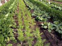 Sistem Multi Cropping, Cara Budidaya Yang Sangat Menguntungkan Bagi Petani