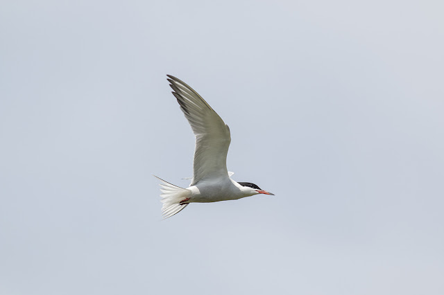 Common Tern about to Hover