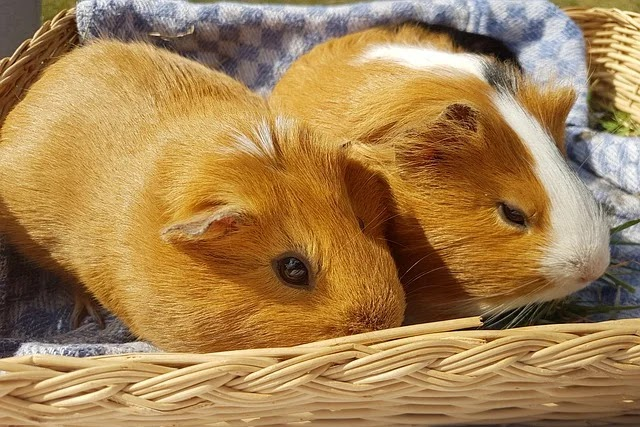 Do Guinea Pigs Blink? Have You Seen Them Blinking?