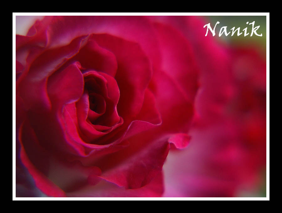 Nanikowy k cik the tears of the rose jeffe kennedy - Javascript clear div content ...