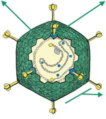 Adenovirus Antibodies