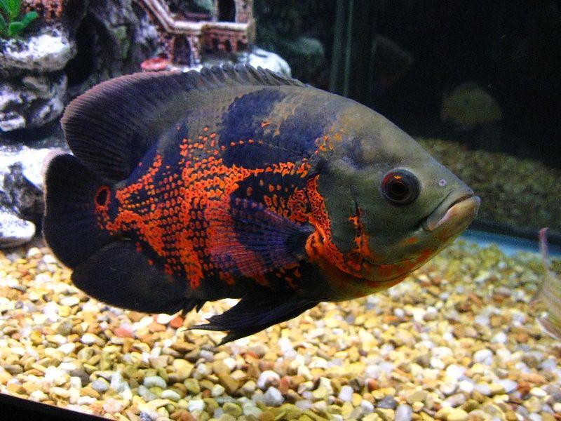 Jenis Ikan Hias dan Harganya - Ikan Oscar