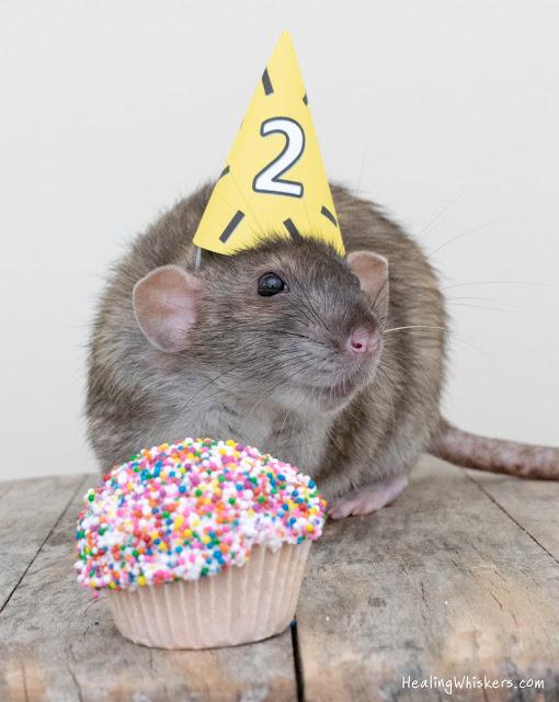 Wyatt the rat celebrating his 2nd birthday