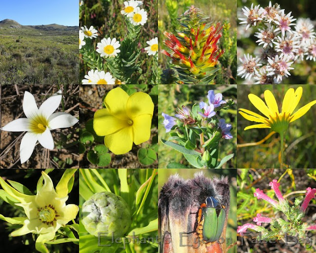 July flowers around Spitskop in Silvermine