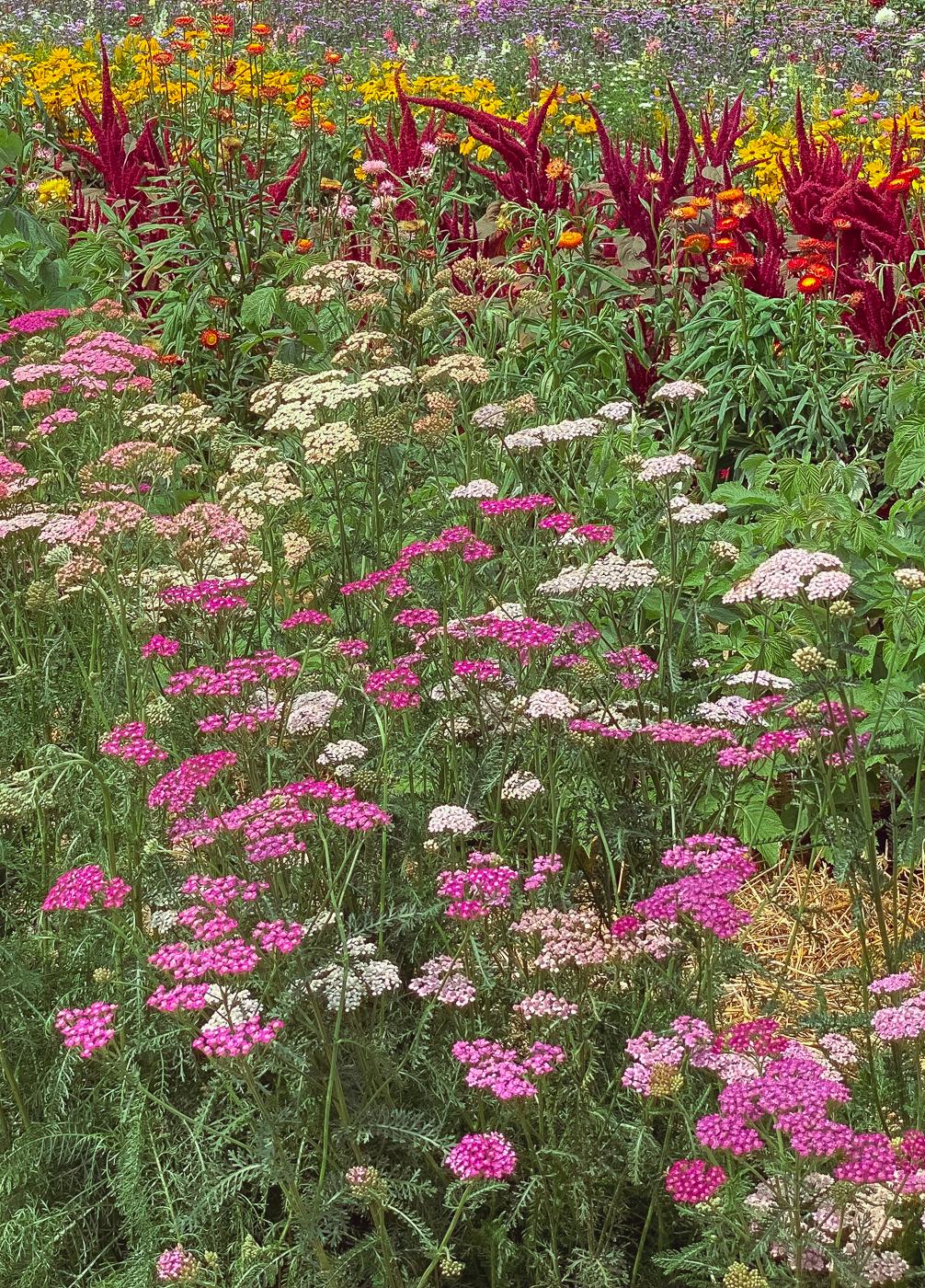 yarrow, summer garden flowers, blooming flowers, summer flowers that bloom