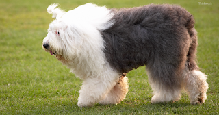 old-english-sheepdog