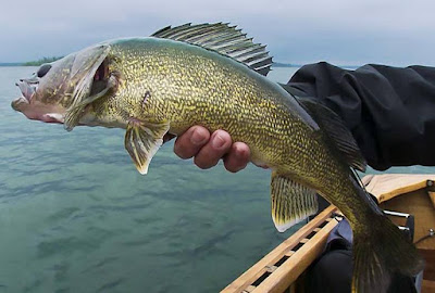 Walleye - animals That Start with letter W
