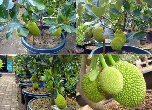 tabulampot nangka mini