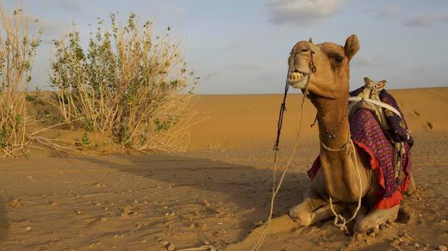 camel on rajstan (santalivideos.com)camel on rajstan (santalivideos.com)camel on rajstan (santalivideos.com)