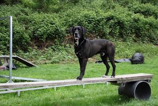 fortalecimento muscular para cães