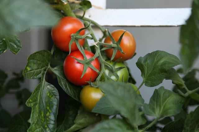 tomaatti terttu
