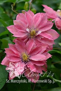 http://www.clematis.com.pl/ru/encyklopedia?plantid=811&view=plant