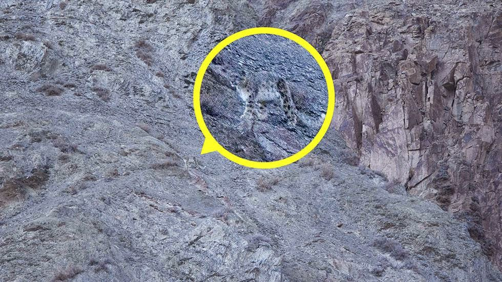 A snow leopard is seen, highlighted and magnified in yellow, camouflaged against a mountain near the Indian Himalayas. - Can You Spot the Snow Leopards in These Photos?