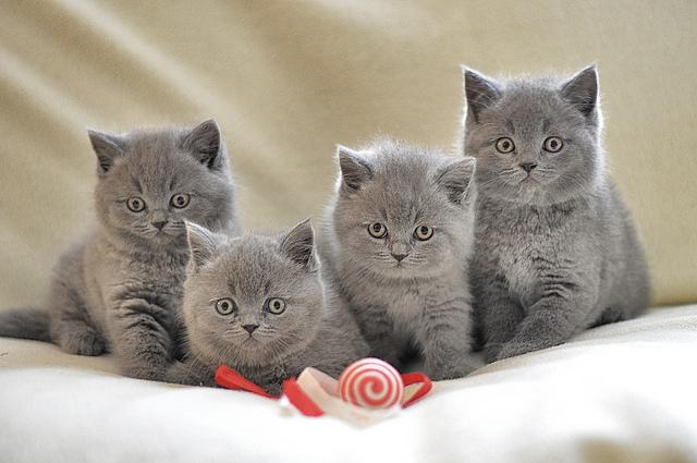 British Shorthair Cat salah satu kucing paling mahal di dunia
