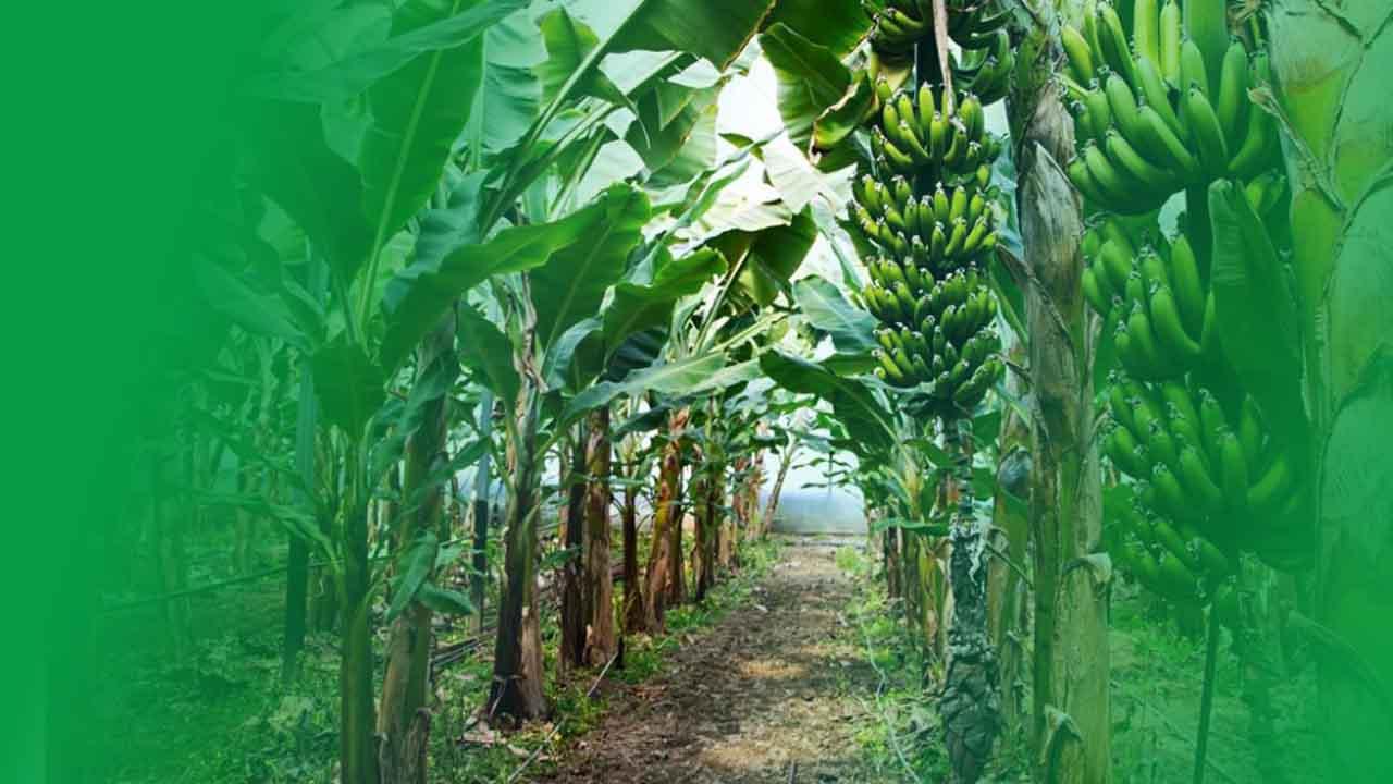 pohon pisang banyak manfaatnya