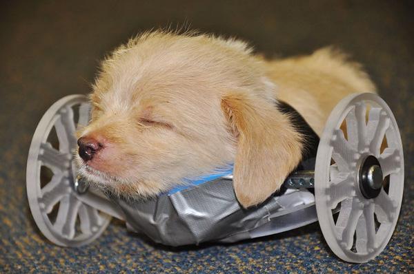 Chú chó con tật nguyền thích thú với chiếc xe lăn mới được cấp