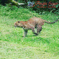 penangkaran macan