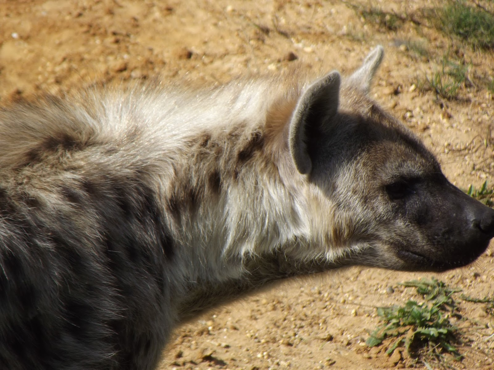 Female Hyenas Have Male Genitalia