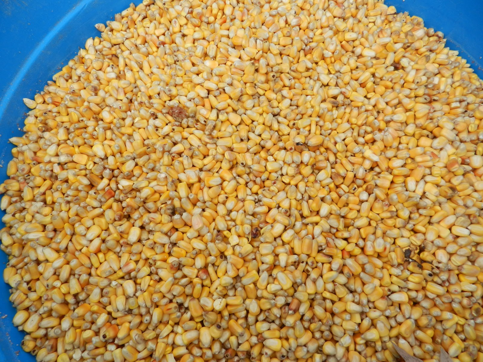 Soaking Corn for Livestock Feed