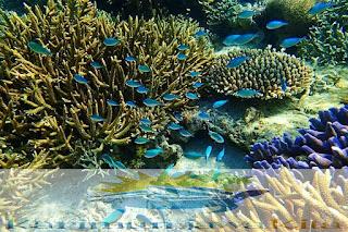 terumbu karang menjangan kecil karimunjawa