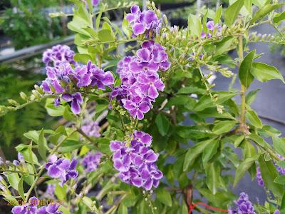 Cây chuỗi ngọc tím gần như cho hoa quanh năm