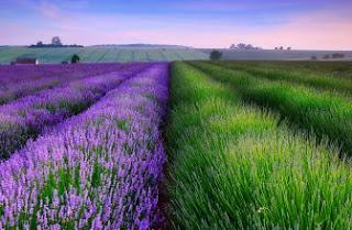 Foto Bunga Lavender Ungu yang Indah 15